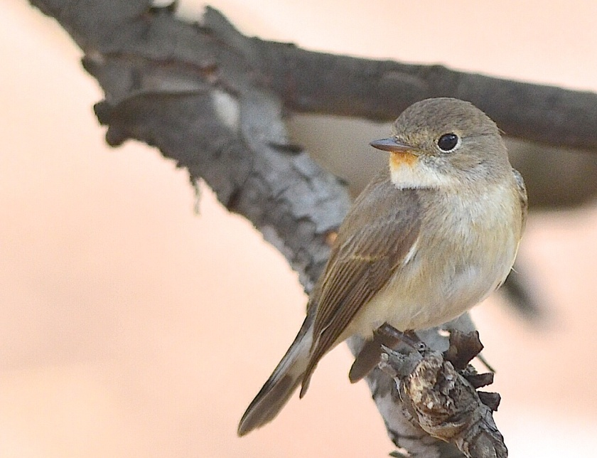 A brown flycatcher at the Lodge