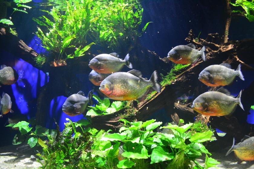 Piranha tank at the Aquarium