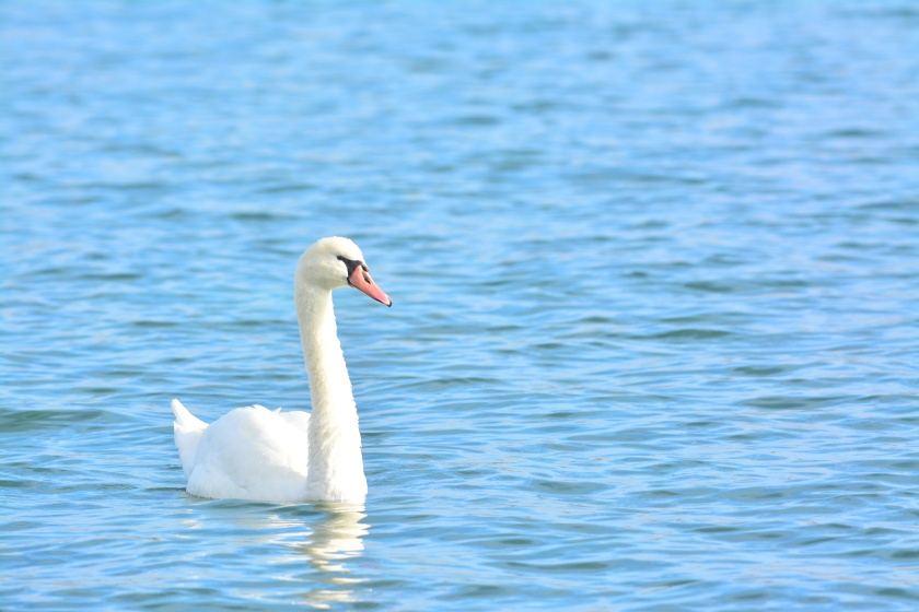 A mute swan glides on the blue waters