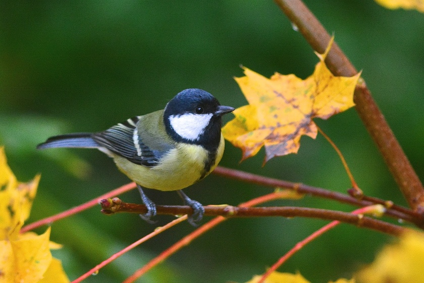 The Little Coal tit gets my attention