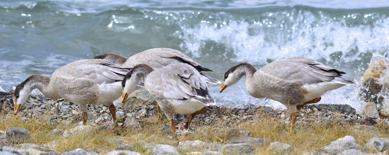 Bar headed geese feed at the lake edge
