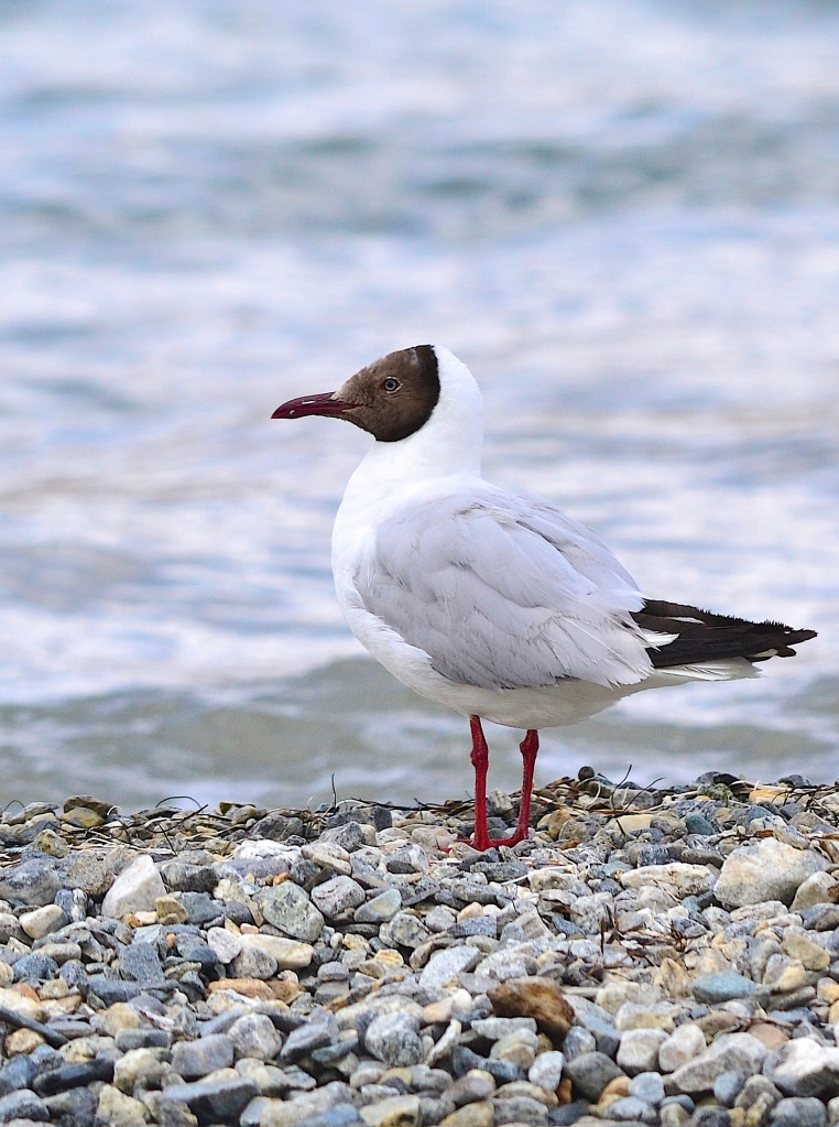 Brown headed gull at Pangong