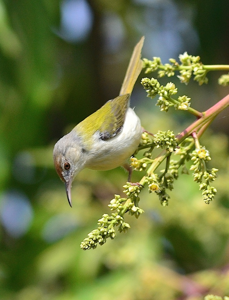 Common tailorbird feeds on the mango flowers