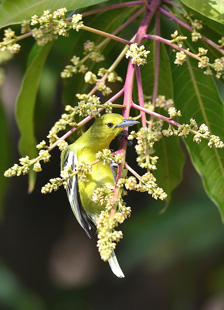Common Iora has her fill