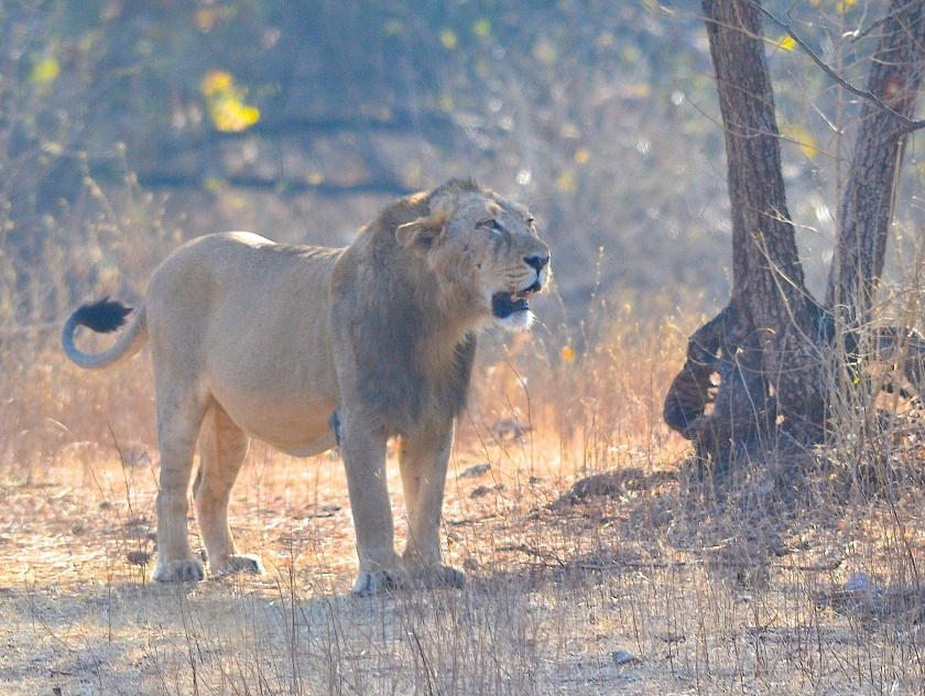 First sighting of the Asiatic Lion