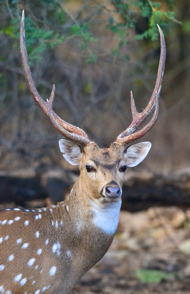 Magnificent Spotted Deer Stag