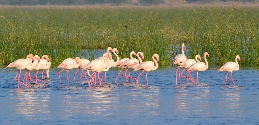 Primary Target - Greater Flamingoes