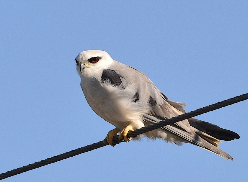 Black Shouldered Kite, a beautiful common raptor