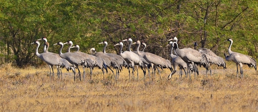 Flock of common cranes